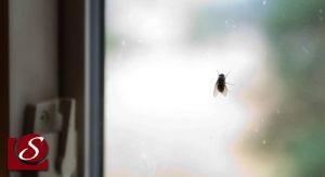 syndrome de la mouche
